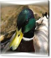 The Mallard Canvas Print