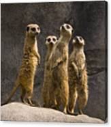 The Meerkat Four Canvas Print