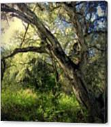 The Mighty Oaks Of Garland Ranch Park 1 Canvas Print