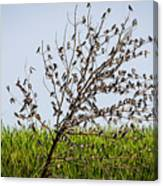 The More The Merrier- Tree Swallows  Canvas Print