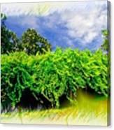 The Mother Vine - Roanoke Island, Nc Canvas Print