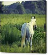 The Old Grey Mare Canvas Print