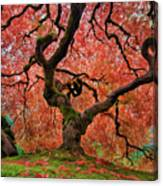 The Old Japanese Maple Tree In Autumn Canvas Print