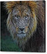The Old Lion Canvas Print