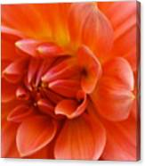 The Opening Of A Dahlia Canvas Print