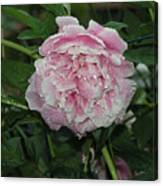 The Peony In Mears Park On A Rainy Day Canvas Print