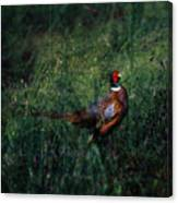 The Pheasant In The Autumn Colors Canvas Print