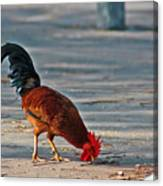 The Picking Rooster Canvas Print