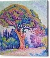 The Pine Tree At Saint Tropez Canvas Print