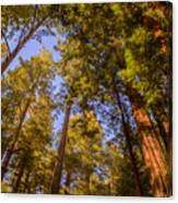 The Portola Redwood Forest Canvas Print