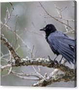 The Preening Crow Canvas Print