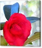 The Red Camellia Canvas Print