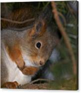 The Red Squirrel 4 Canvas Print
