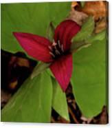 The Red Trillium Canvas Print