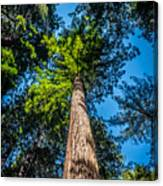 the Redwoods of Muir Woods Canvas Print