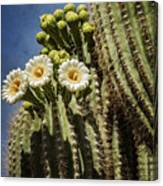 The Saguaro Cactus  Canvas Print