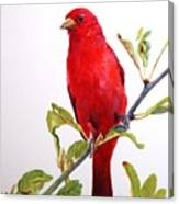 The Scarlett Tanager  Canvas Print