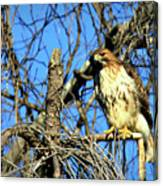 The Search Red Tail Hawk Art Canvas Print
