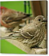 Two Finch's Canvas Print