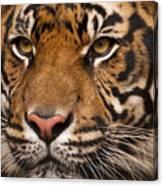 The Sumatran Tiger Cat Canvas Print