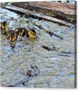 The Three Amigos Ducklings Canvas Print
