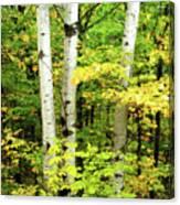 The Three Birch Canvas Print