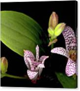 The Toad Lily Canvas Print