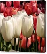 The Tulip Bloom Canvas Print