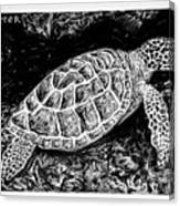 The Turtle Searches Canvas Print