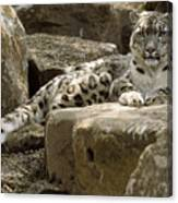The Watchful Stare Of A Snow Leopard Canvas Print