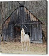 The White Horse Canvas Print