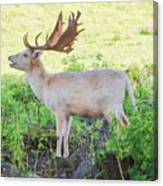 The White Stag 2 Canvas Print