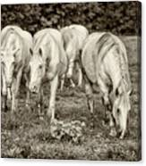 The Wild Horses Of Shannon County Mo 7r2_dsc1111_16-09-23 Canvas Print