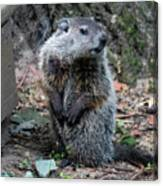 The Woodchuck Has To Pee Canvas Print