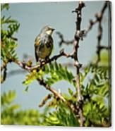 The  Yellow-rumped Warbler Canvas Print