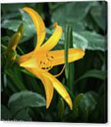 The Yelloy Lily Canvas Print