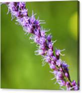 There You Are Blazing Star Canvas Print