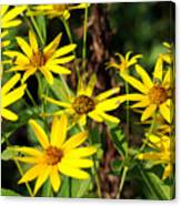 Thin-leaved Sunflower Canvas Print