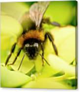 Thirsty Bumble Bee. Canvas Print