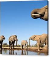 Thirsty Elephants Canvas Print