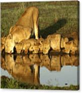 Thirsty Lions Canvas Print