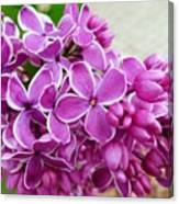 This Lilac Has Flowers With A White Edging. 4  Canvas Print