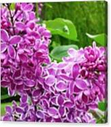 This Lilac Has Flowers With A White Edging.1 Canvas Print