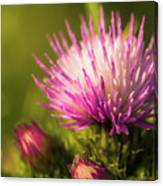 Thistle Flowers Canvas Print