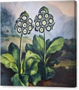 Thornton: Auriculas Canvas Print