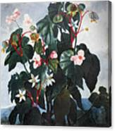 Thornton: Begonia Canvas Print