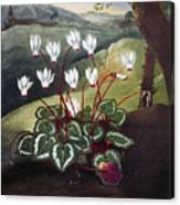 Thornton: Cyclamen Canvas Print