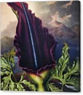 Thornton: Dragon Arum Canvas Print