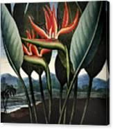 Thornton: Strelitzia Canvas Print