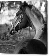 Thoroughbred - Black And White Canvas Print